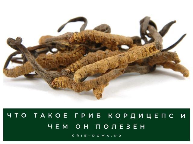 Все о грибе кордицепс, описание и фото
