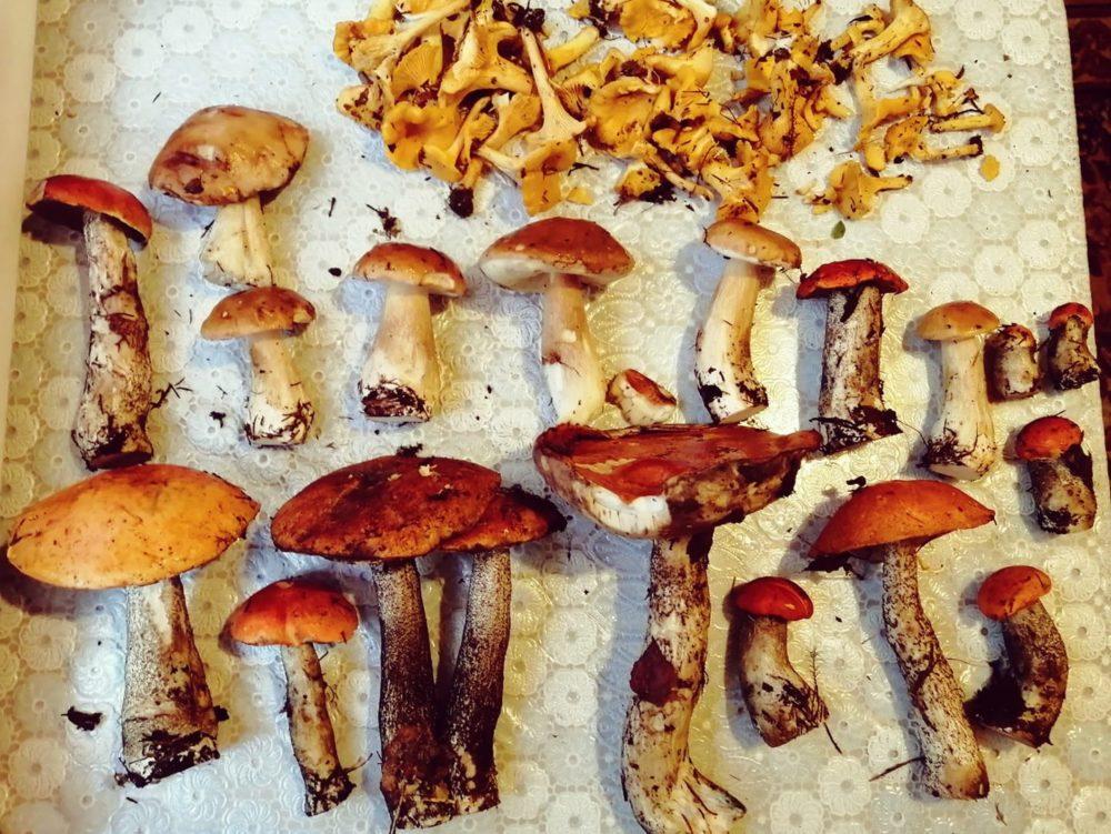 Какие грибы растут в Тверской области.