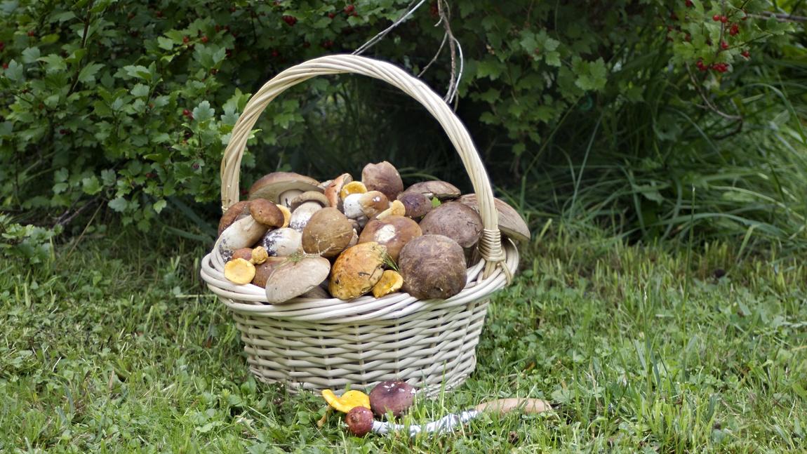 Какие грибы растут в Рязанской области.