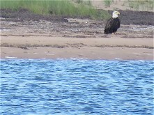 "I ""upped"" the power on my zoom and sure enough, it was a bald eagle."