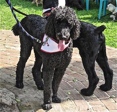 Big black dogs,