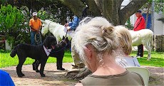 The world's longest albino burro was there to be blessed.
