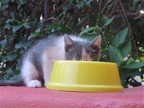 This is the first brave kitten who commandeered Annie's food dish.