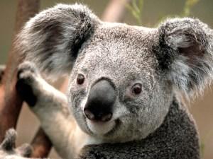 Koala picture from Microsoft