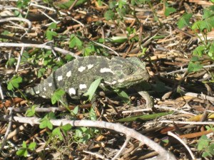 Chameleon sighted while we were pruning olive trees on Gozo