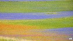 fioritura-castelluccio-norcia