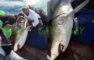 Pescadores capturan un tiburón