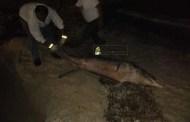 Encuentran a un delfín muerto, en playas del Hotel Costa Club