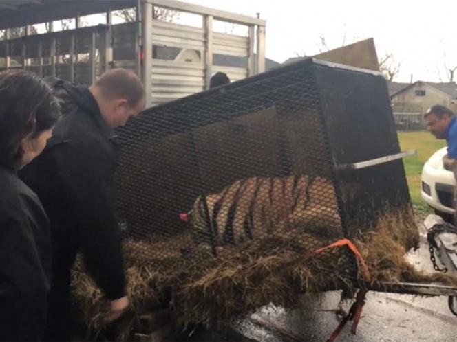 Por entrar a fumar marihuana a una casa abandonada, rescatan a un tigre enjaulado