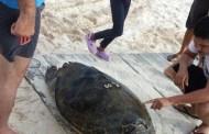 Hallan una tortuga muerta, en playas de San Crisanto