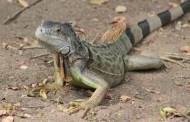 Autorizan en Florida matar iguanas verdes por sobre población