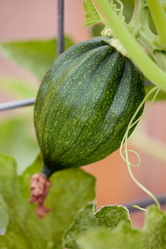 green acorn squash growing on the vine with a small blossom
