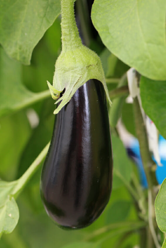eggplant growing on the vine growing straight up and down