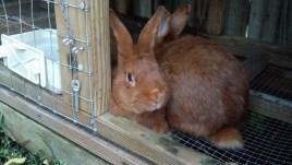 Thrianta Rabbits © 2013 Grimes Family Fluffers