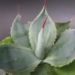 雷神になれるかもしれない観葉植物アガベライジンの鉢植え