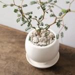 メルヘンの木(ソフォラ・ミクロフィラ)は樹形を生かして楽しめる観葉植物です。