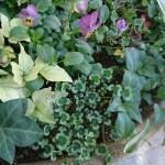 冬の寄せ植えにおすすめ!寒さに強い下草5種類