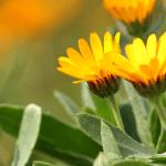風が強い冬のベランダに黄色の「カレンデュラ」で明るい寄せ植え