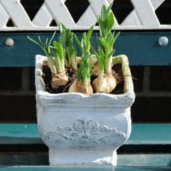 鉢植え球根