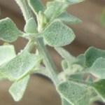 ホワイトソルトブッシュ(ラゴディアハスタータ)の白葉が際立つカラーリーフ寄せ植え