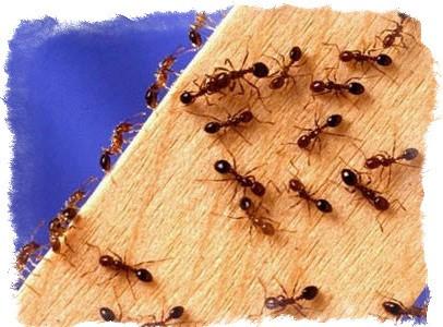 Муравьи в доме – примета и народные суеверия. Как избавиться от муравьёв: обзор различных методов борьбы