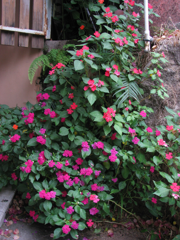 Impatiens PlantversusBUSH 3