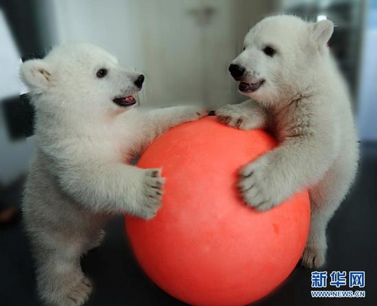 Twin Baby Polar Bears Celebrate Their 100 Day Birthday