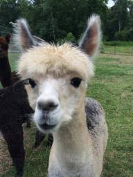 Alpaca pic 2 from Megan