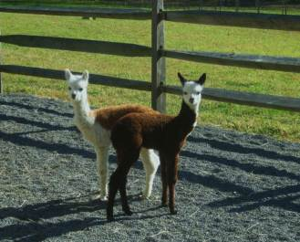 Either a two-headed alpaca or Coco and Cavalier posing