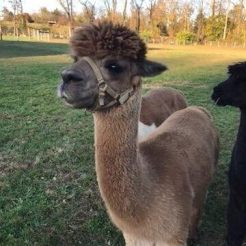 alpaca-in-the-field