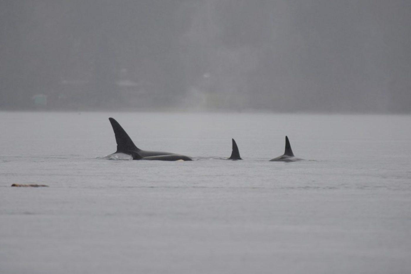 Orcas again via Mike Charest