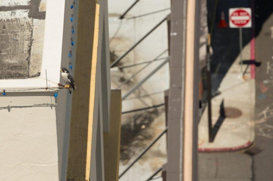 Tacoma Peregrine Falcons_01