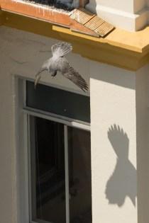 Tacoma Peregrine Falcons_04