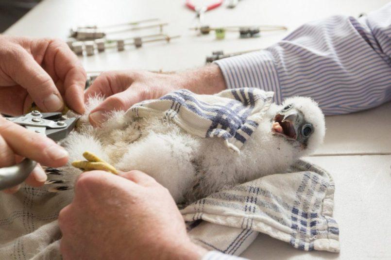 Tacoma Peregrine Falcons_11