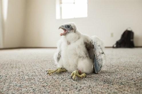 Tacoma Peregrine Falcons_14