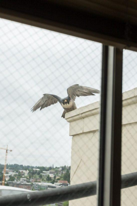 Tacoma Peregrine Falcons_18
