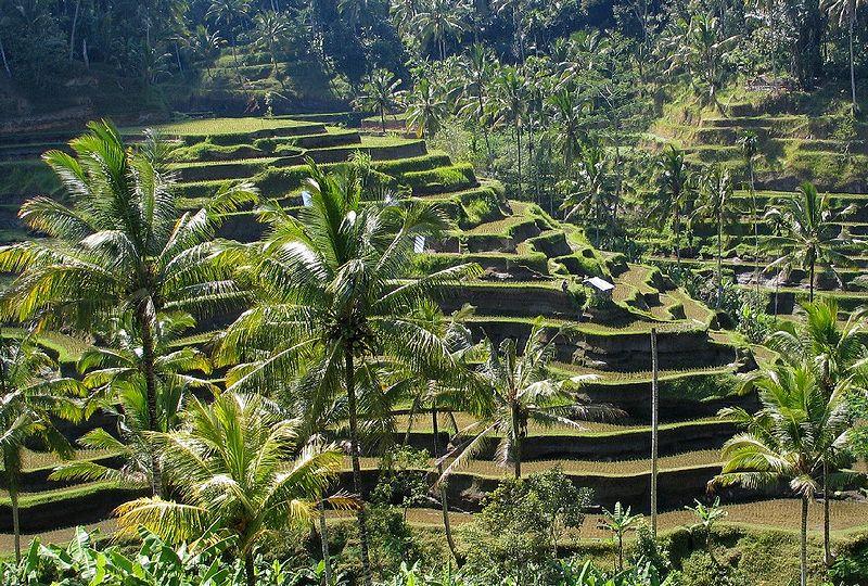 bali-free-rice-fields32
