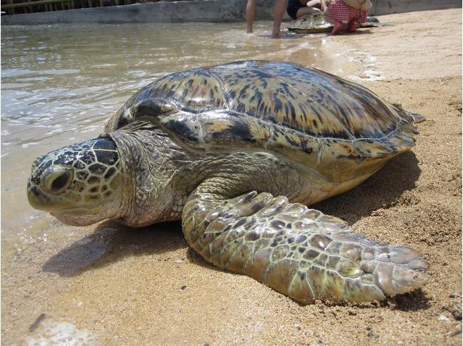 sea_turtle_Bali