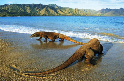 Image result for komodo island