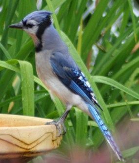 Blue Jay can reside over a very large area of the eastern side of North America
