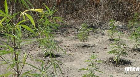 Anvisa autoriza utilização de produto à base de cannabis em projeto com a Fiocruz