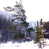 Trees in the snow at Estes Park