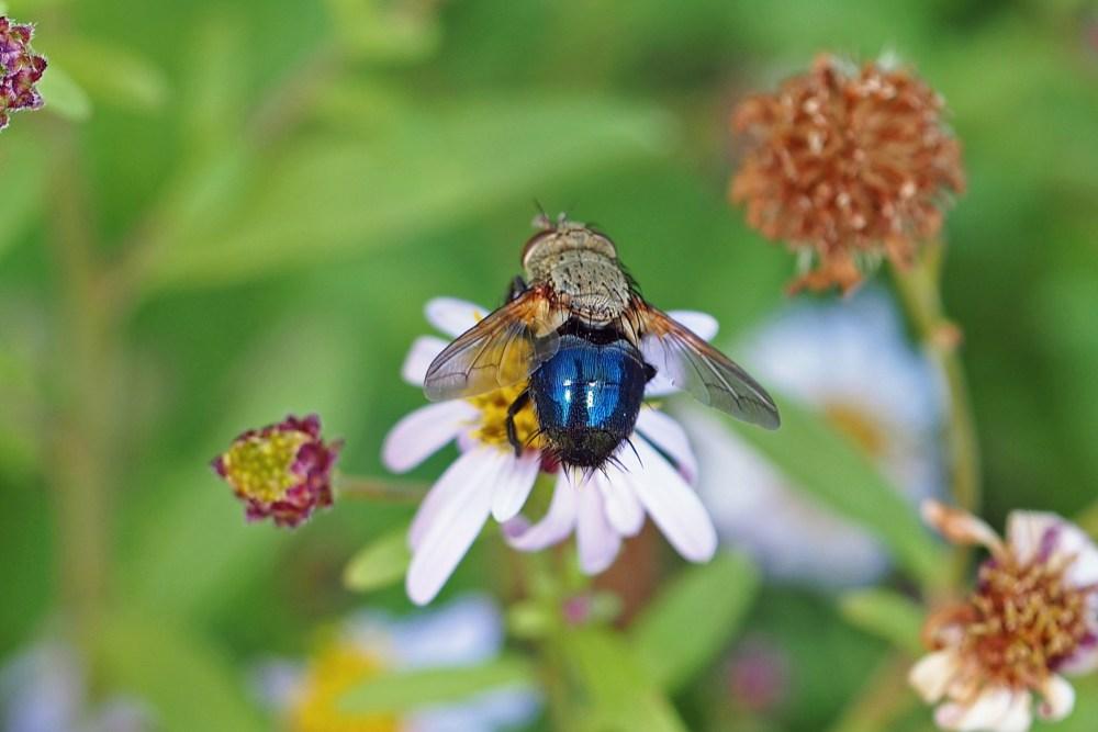 Tachinid fly, Archytas sp., IMO405 (2).jpg