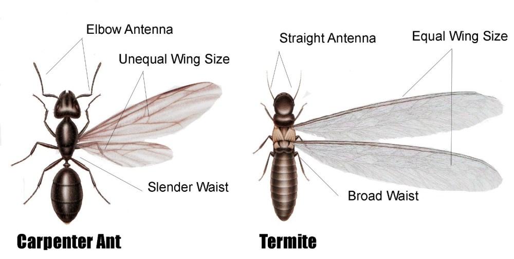 ant v term