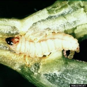 Melittia_cucurbitae_larva