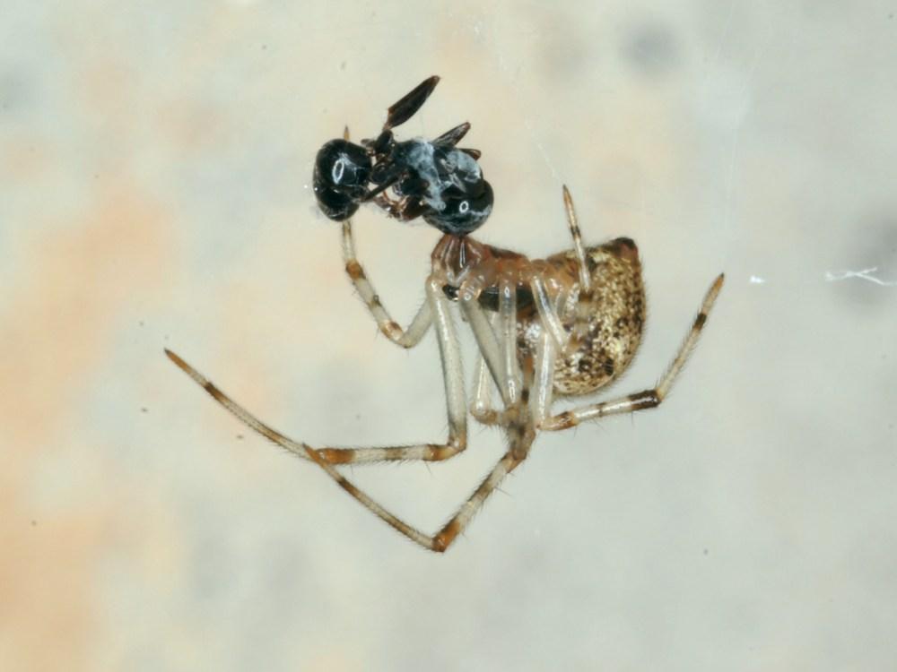 House Spider, Parasteatoda tepidiariorum, Ant, JAK105 (2).jpg
