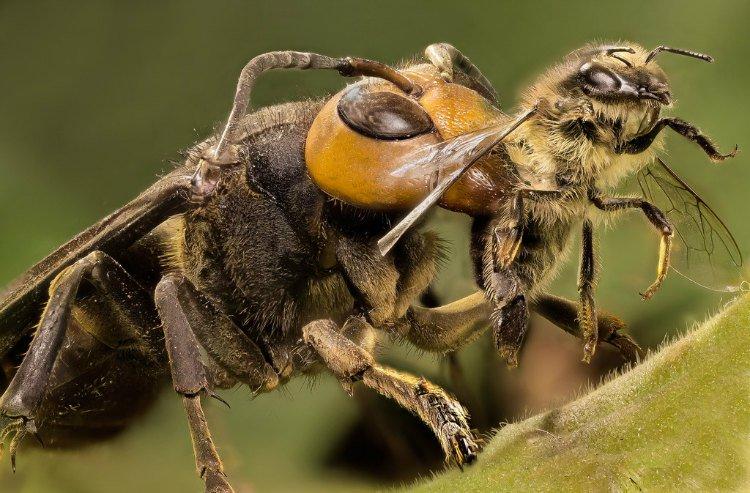 Japanese-Giant-Hornet-killing-bee