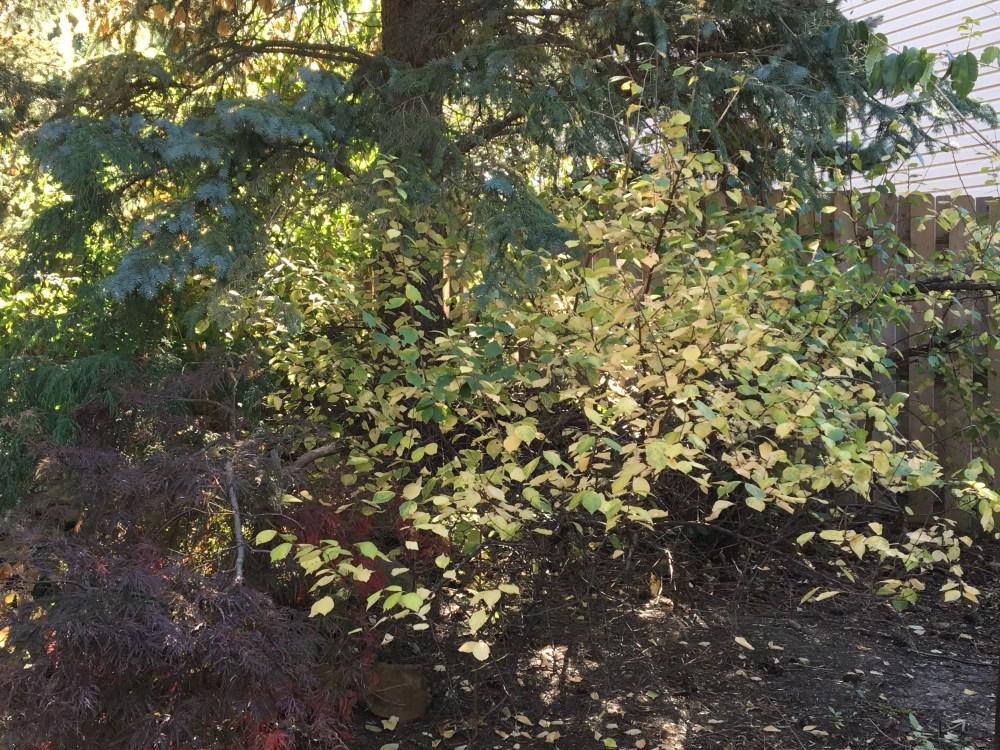Nanking cherry fall color CJ Hohman.jpg