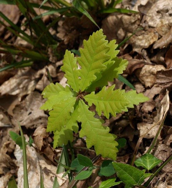 oak tree seedling