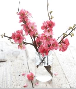 flower quince bloom